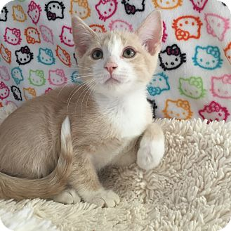 Domestic Shorthair Kitten for adoption in Fountain Hills, Arizona - ARIANA