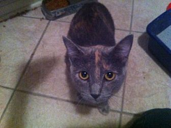 Domestic Shorthair Cat for adoption in Baton Rouge, Louisiana - Nala