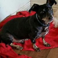Dachshund/Chihuahua Mix Dog for adoption in Dana Point, California - Remy
