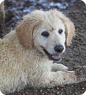 Great Pyrenees/Collie Mix Puppy for adoption in Jewett City, Connecticut - Kaa - Pending adoption