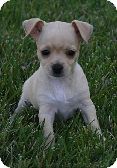 Chihuahua Mix Puppy for adoption in La Habra Heights, California - Penelope