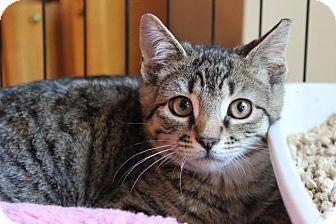 Domestic Shorthair Kitten for adoption in Hazlet, New Jersey - Benji