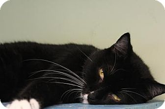 Domestic Shorthair Cat for adoption in Indianapolis, Indiana - Princess Buttercup