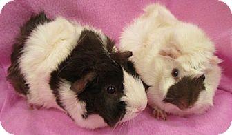 Guinea Pig for adoption in Steger, Illinois - Eliza