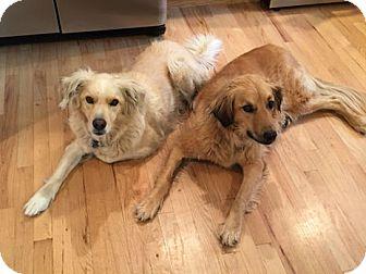 Retriever (Unknown Type) Mix Dog for adoption in Denver, Colorado - Lena