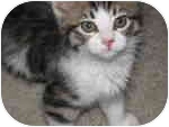 Domestic Shorthair Kitten for adoption in Vacaville, California - Waffles