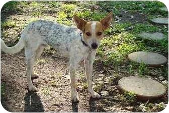 Blue Heeler/Rat Terrier Mix Dog for adoption in Baton Rouge, Louisiana - Nelson