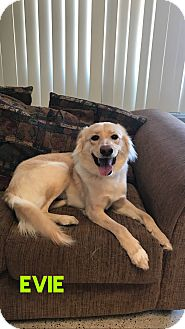 Golden Retriever/Border Collie Mix Dog for adoption in Garden City, Michigan - Evie