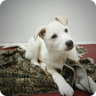 Labrador Retriever/Husky Mix Puppy for adoption in North Vancouver, British Columbia - AVA