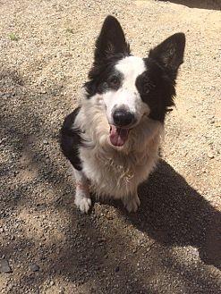 Border Collie Dog for adoption in San Pedro, California - LEVI