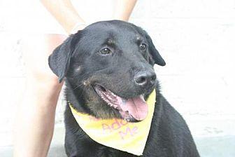 Labrador Retriever/Rottweiler Mix Dog for adoption in Rockville, Maryland - Indy