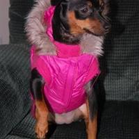 Adopt A Pet :: Dakota - Leicester, MA