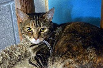 Domestic Shorthair Cat for adoption in Akron, Ohio - Tamara