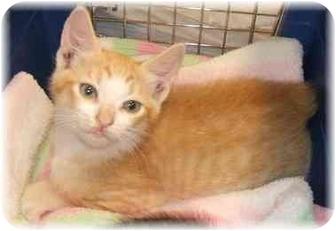 Manx Kitten for adoption in Naples, Florida - Apollo
