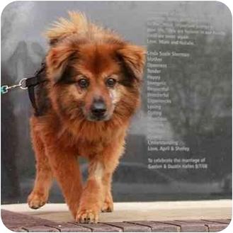 Chow Chow Mix Dog for adoption in Denver, Colorado - Daisy
