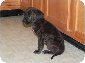 Boxer/Labrador Retriever Mix Puppy for adoption in East Hampton, New York - Achilles