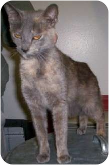 Domestic Shorthair Cat for adoption in Chesapeake, Virginia - Chrissy