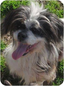 Shih Tzu/Maltese Mix Dog for adoption in Newark, Delaware - Princess Polly
