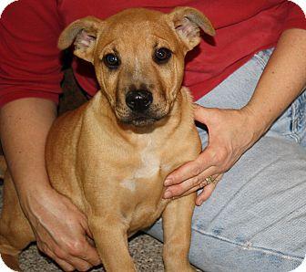 Hound (Unknown Type)/Retriever (Unknown Type) Mix Puppy for adoption in Bedminster, New Jersey - Mac