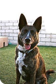 Dutch Shepherd Mix Dog for adoption in Coronado, California - Germany