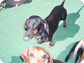 Dachshund Dog for adoption in Atascadero, California - Beretta