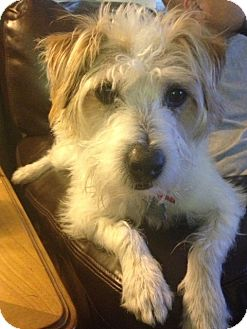 Jack Russell Terrier Dog for adoption in Houston, Texas - Cinch in Houston