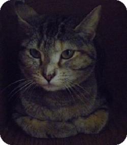 Domestic Shorthair Cat for adoption in Hamburg, New York - Bansy