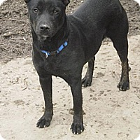 American Staffordshire Terrier Mix Dog for adoption in Manchester, Tennessee - Darcy