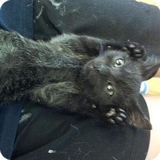 Domestic Shorthair Kitten for adoption in Homewood, Alabama - Tobias