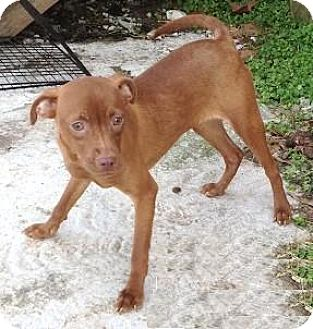 Rat Terrier Mix Puppy for adoption in Moulton, Alabama - Hannah