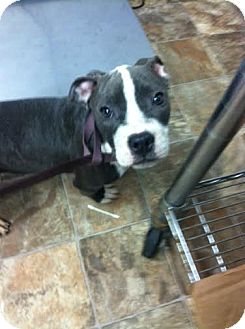 American Pit Bull Terrier Mix Puppy for adoption in Darlington, South Carolina - Zace