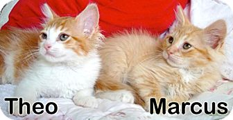 Maine Coon Kitten for adoption in Oakland, California - Theo and Marcus