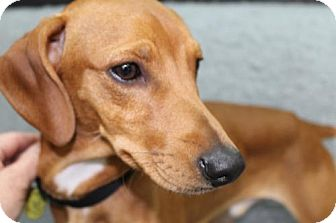 Miniature Pinscher Mix Dog for adoption in London, Ontario - Tuck