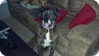 Mastiff Dog for adoption in Warren, New Jersey - Adonis