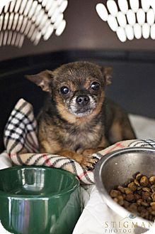 Chihuahua Dog for adoption in Detroit Lakes, Minnesota - Pepe
