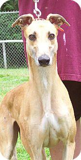Greyhound Dog for adoption in Randleman, North Carolina - Abby