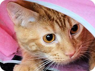 Domestic Shorthair Kitten for adoption in Morganton, North Carolina - Erik