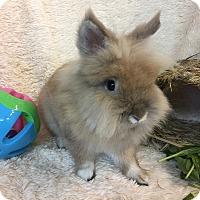 Adopt A Pet :: Cheeky Chow - Paramount, CA