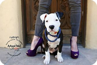Pit Bull Terrier Mix Puppy for adoption in Mission Viejo, California - Rudy