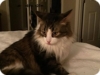 Maine Coon Cat for adoption in Lexington, Kentucky - Nick