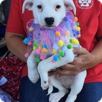 Adopt A Pet :: Crush - Brea, CA