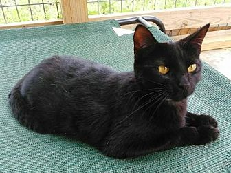 Domestic Shorthair Cat for adoption in Mountain View, Arkansas - Mew