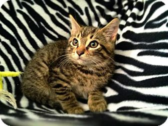 Domestic Shorthair Kitten for adoption in Marlton, New Jersey - Diego