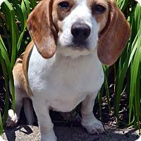 Adopt A Pet :: Jamie - Bridgeton, MO