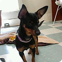 Adopt A Pet :: CINDY - Cleveland, TN