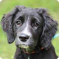 Adopt A Pet :: Buttercup - Nanuet, NY