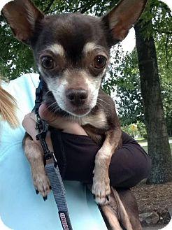 Chihuahua Dog for adoption in raytown, Missouri - Drake