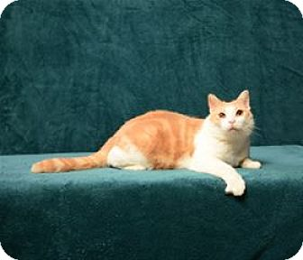 Domestic Shorthair Cat for adoption in Cary, North Carolina - Butch Cassidy (FIV positive)