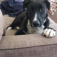 Adopt A Pet :: Porgy - New York, NY