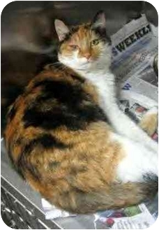 Domestic Mediumhair Cat for adoption in Anderson, Indiana - Miko- Fostered!